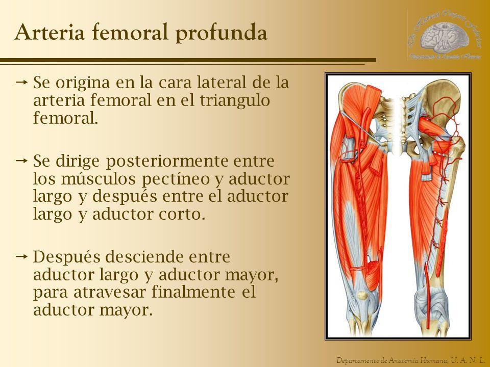 Lujoso Arteria Femoral Y La Anatomía De La Vena Cresta - Anatomía de ...