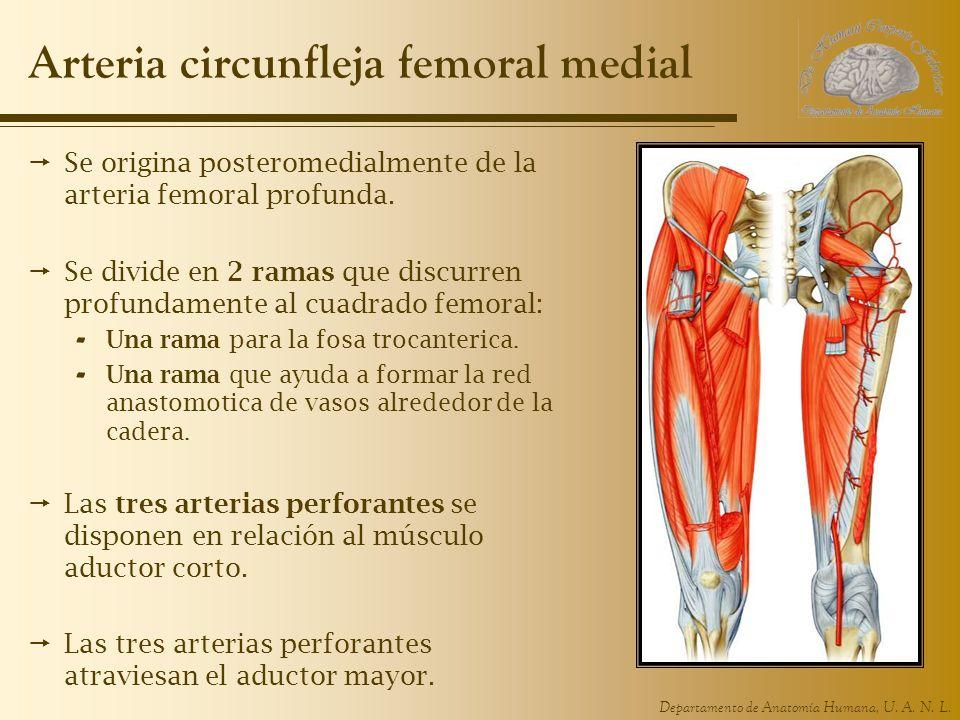 Arteria circunfleja femoral medial