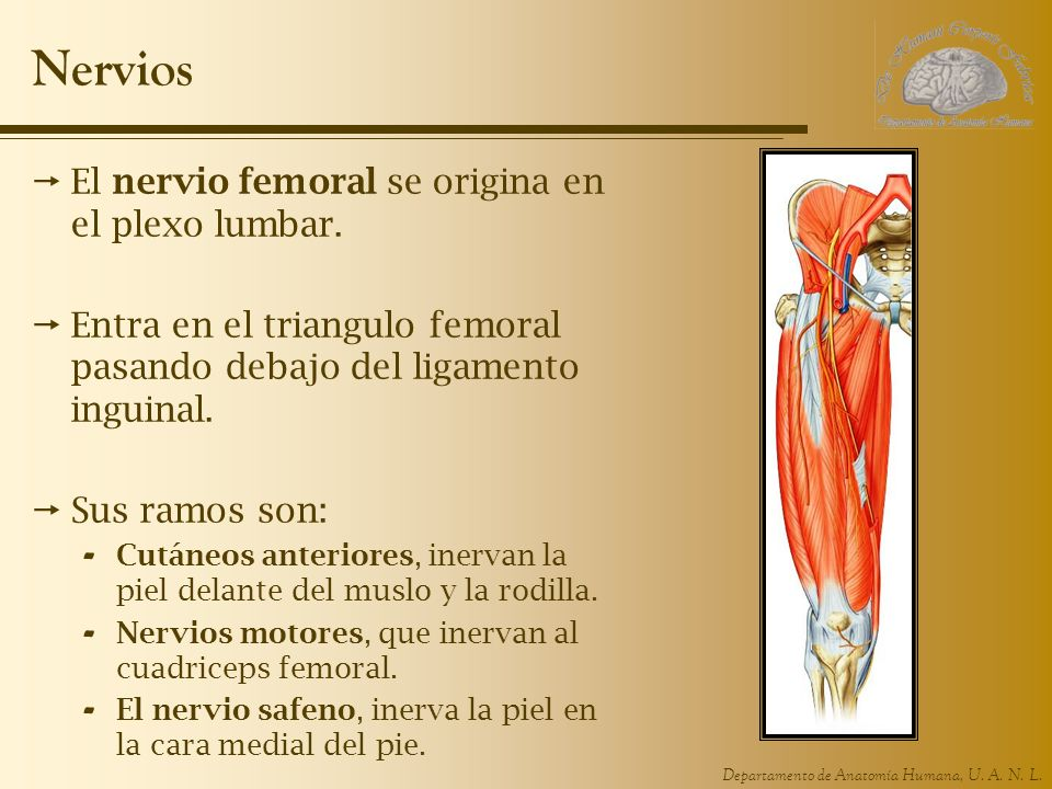 Nervios El nervio femoral se origina en el plexo lumbar.