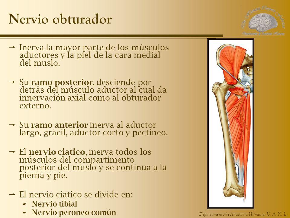 Nervio obturador Inerva la mayor parte de los músculos aductores y la piel de la cara medial del muslo.
