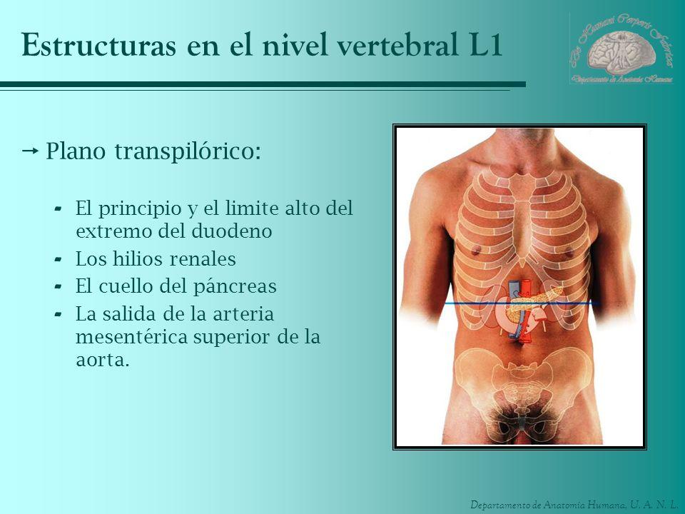 Estructuras en el nivel vertebral L1