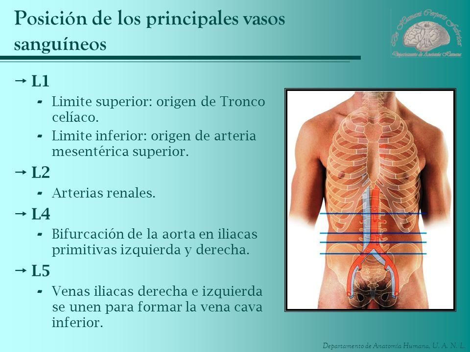 Posición de los principales vasos sanguíneos