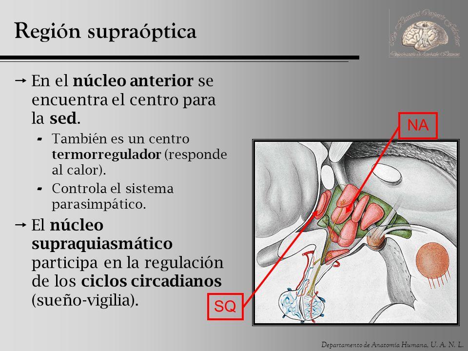 Región supraóptica En el núcleo anterior se encuentra el centro para la sed. También es un centro termorregulador (responde al calor).