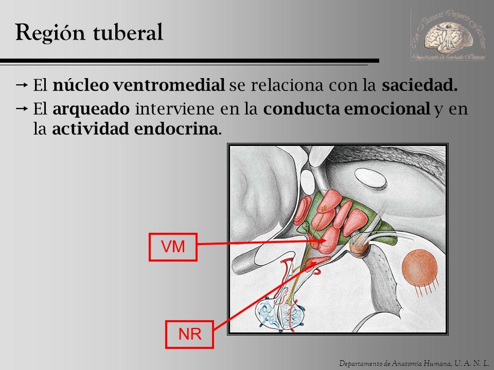 Región tuberal El núcleo ventromedial se relaciona con la saciedad.