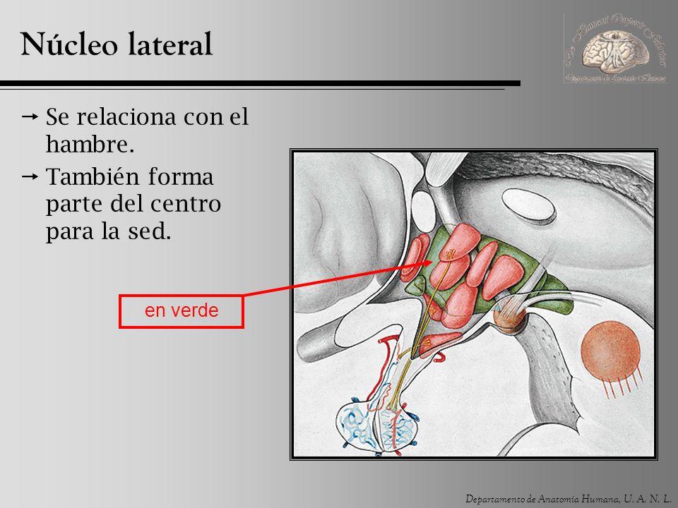 Núcleo lateral Se relaciona con el hambre.