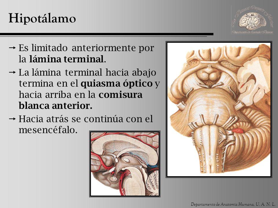 Hipotálamo Es limitado anteriormente por la lámina terminal.