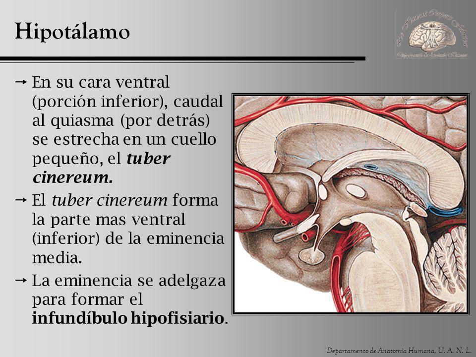 Hipotálamo En su cara ventral (porción inferior), caudal al quiasma (por detrás) se estrecha en un cuello pequeño, el tuber cinereum.