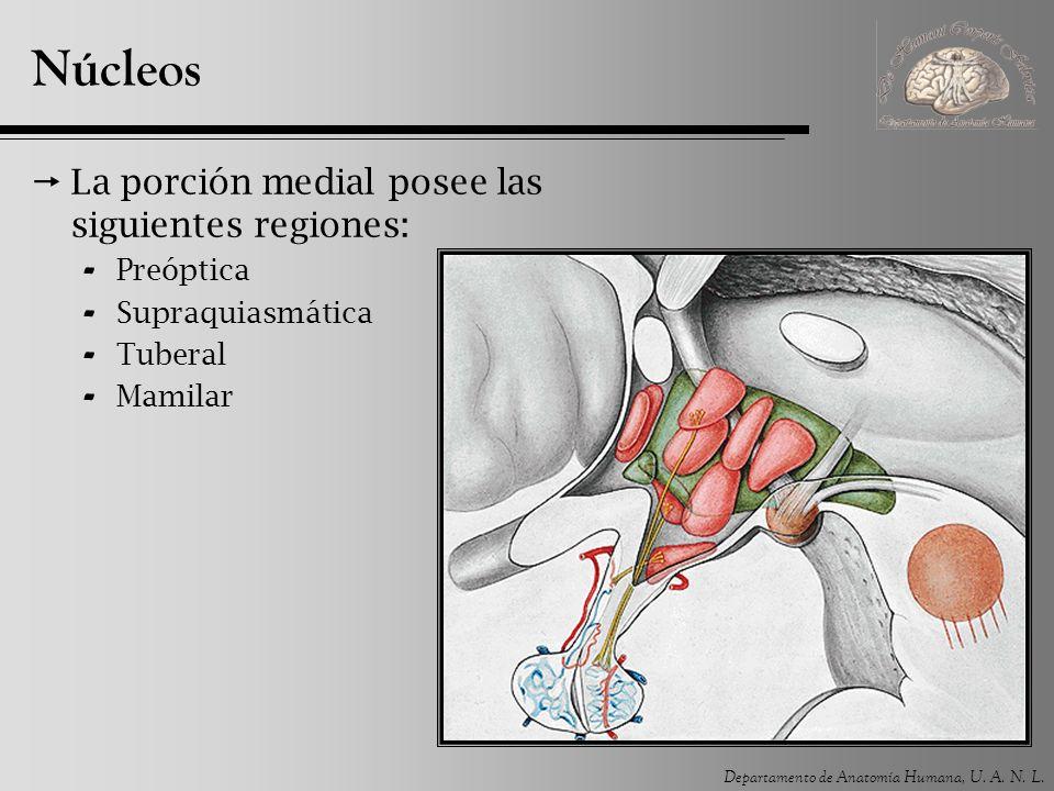 Núcleos La porción medial posee las siguientes regiones: Preóptica