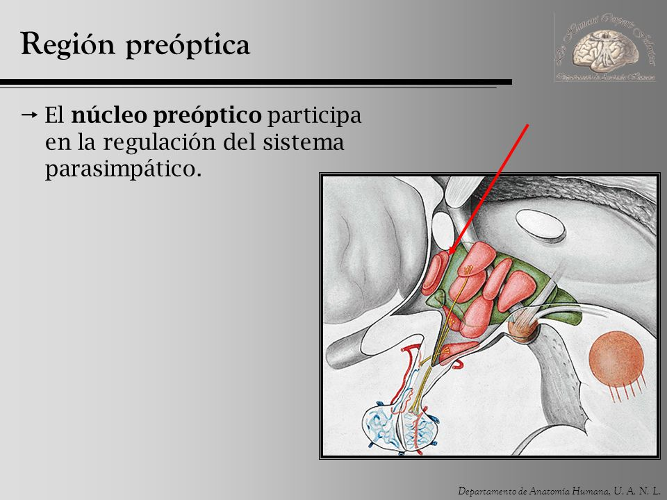 Región preóptica El núcleo preóptico participa en la regulación del sistema parasimpático.