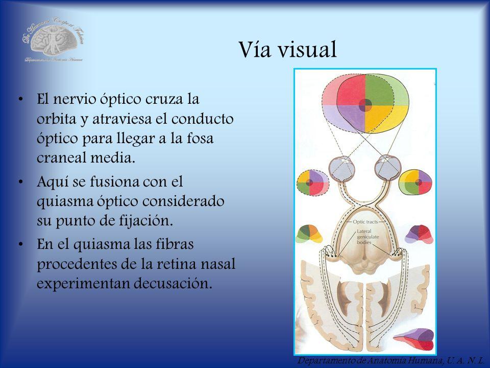 Vía visual El nervio óptico cruza la orbita y atraviesa el conducto óptico para llegar a la fosa craneal media.