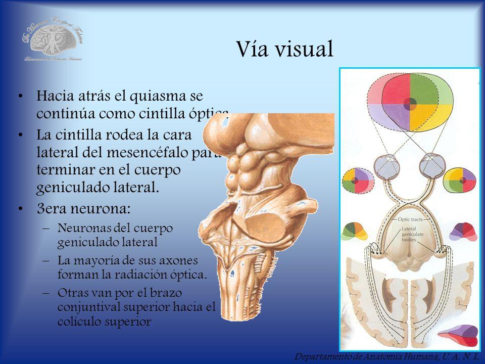 Vía visual Hacia atrás el quiasma se continúa como cintilla óptica.