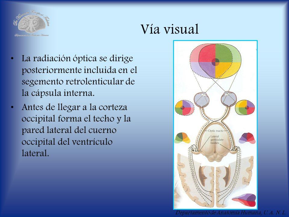 Vía visual La radiación óptica se dirige posteriormente incluida en el segemento retrolenticular de la cápsula interna.
