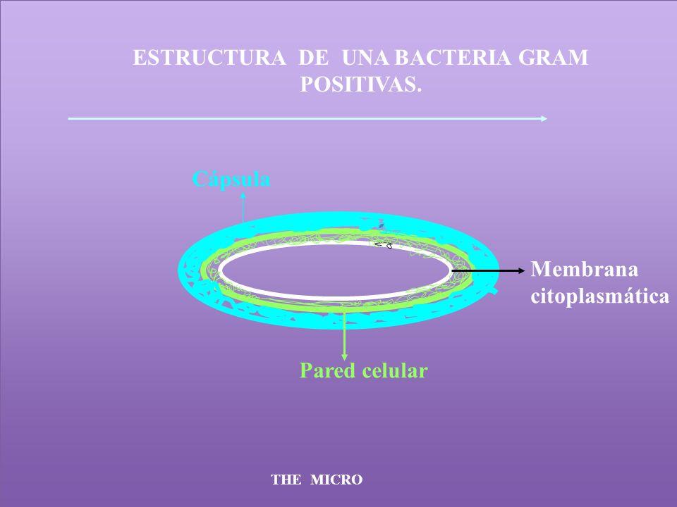 ESTRUCTURA DE UNA BACTERIA GRAM POSITIVAS.