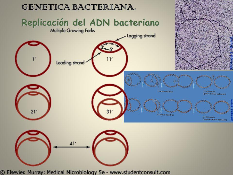 GENETICA BACTERIANA. Replicación del ADN bacteriano