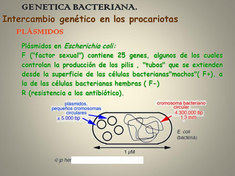 GENETICA BACTERIANA. Intercambio genético en los procariotas PLÁSMIDOS