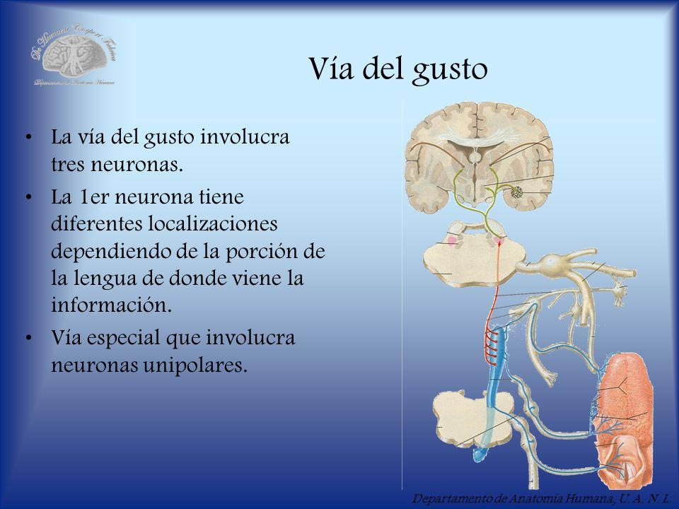 Vía del gusto La vía del gusto involucra tres neuronas.