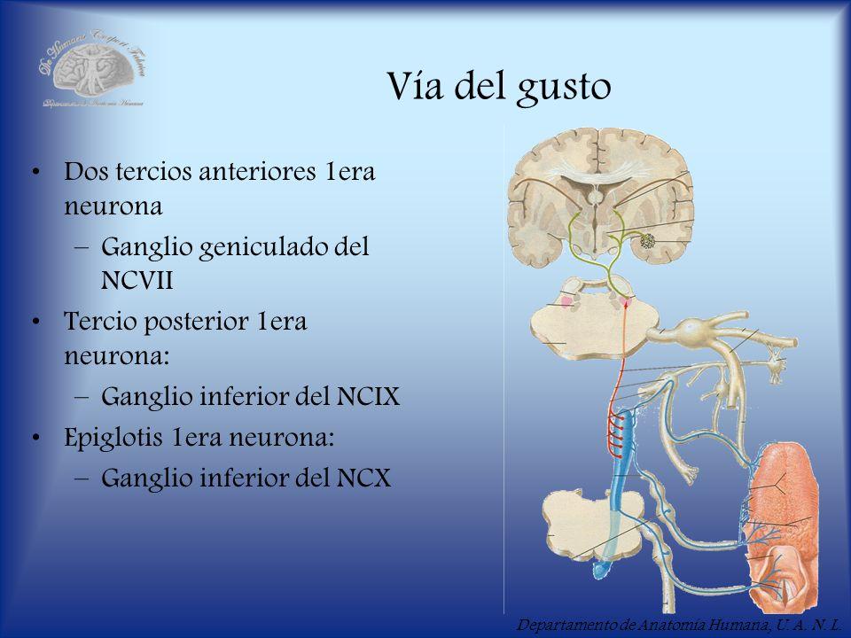 Vía del gusto Dos tercios anteriores 1era neurona