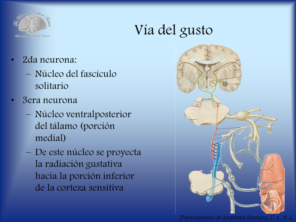 Vía del gusto 2da neurona: Núcleo del fascículo solitario 3era neurona
