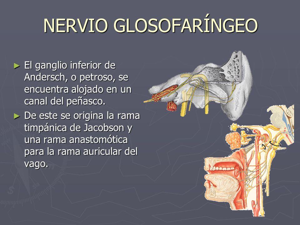 NERVIO GLOSOFARÍNGEO El ganglio inferior de Andersch, o petroso, se encuentra alojado en un canal del peñasco.