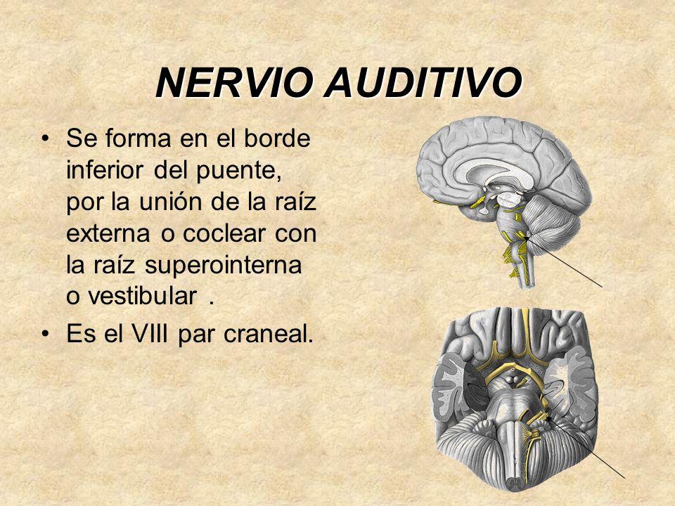 NERVIO AUDITIVO Se forma en el borde inferior del puente, por la unión de la raíz externa o coclear con la raíz superointerna o vestibular .