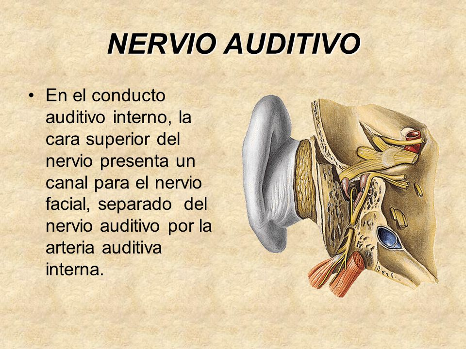 NERVIO AUDITIVO