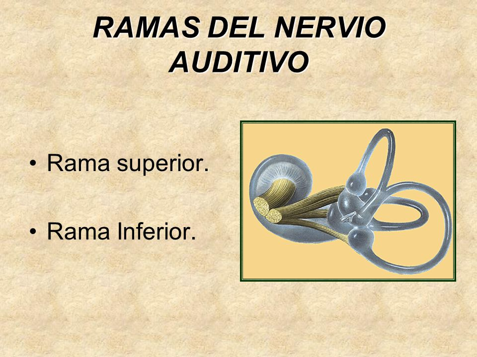 RAMAS DEL NERVIO AUDITIVO