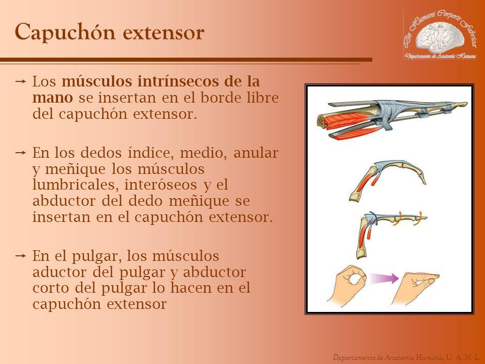 Capuchón extensorLos músculos intrínsecos de la mano se insertan en el borde libre del capuchón extensor.