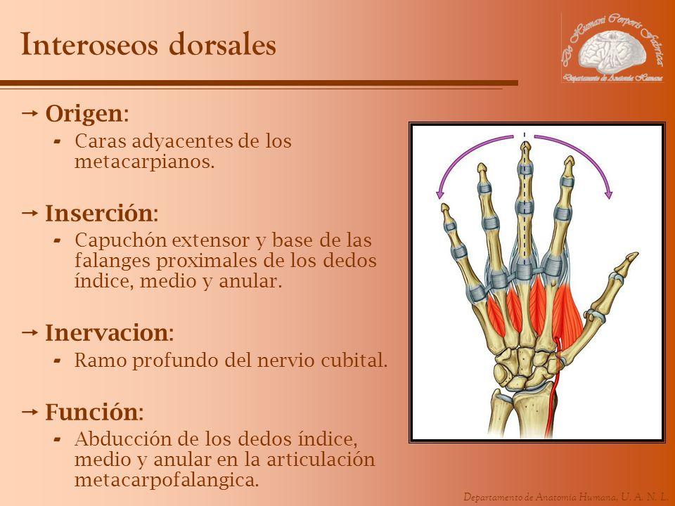 Interoseos dorsales Origen: Inserción: Inervacion: Función: