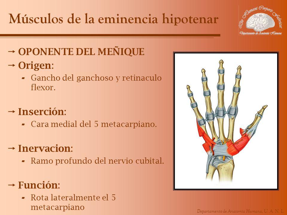 Músculos de la eminencia hipotenar