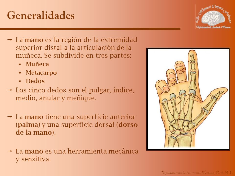GeneralidadesLa mano es la región de la extremidad superior distal a la articulación de la muñeca. Se subdivide en tres partes: