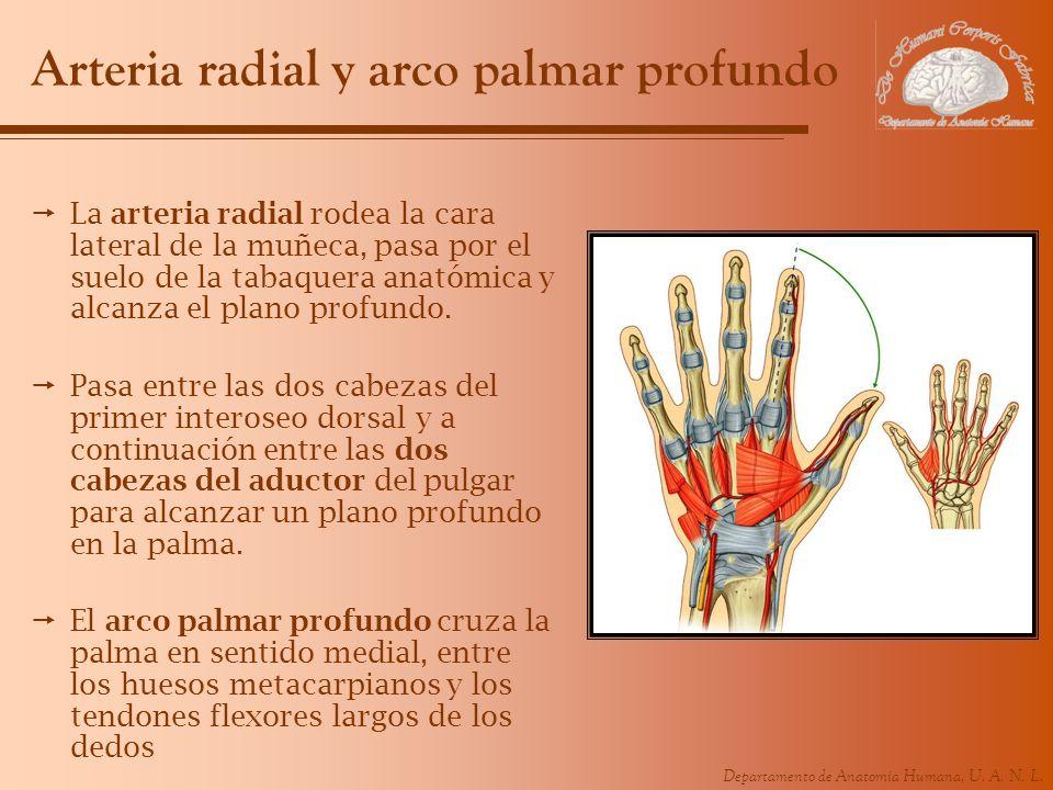 Arteria radial y arco palmar profundo