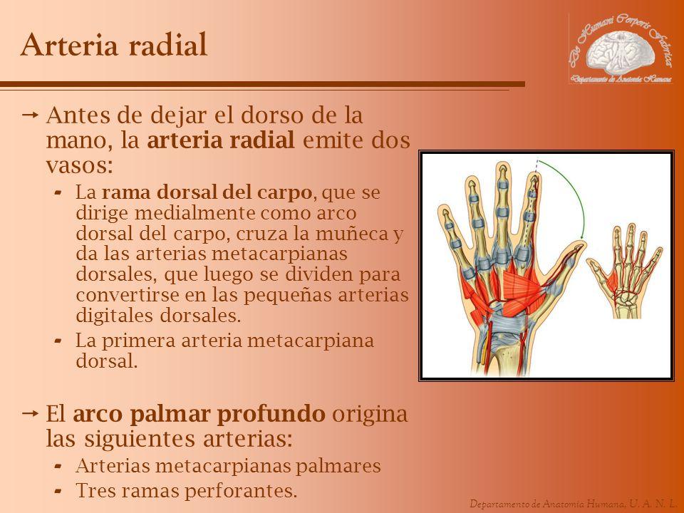 Arteria radial Antes de dejar el dorso de la mano, la arteria radial emite dos vasos: