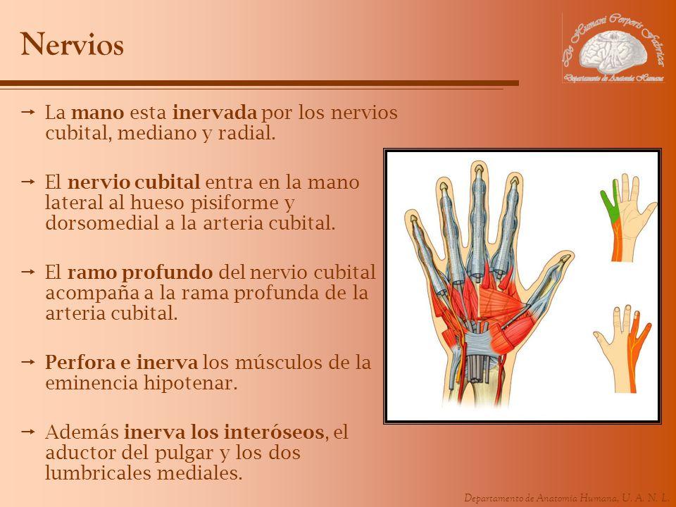 NerviosLa mano esta inervada por los nervios cubital, mediano y radial.