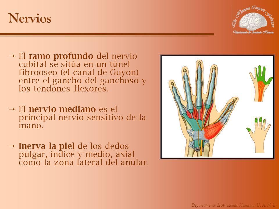 NerviosEl ramo profundo del nervio cubital se sitúa en un túnel fibrooseo (el canal de Guyon) entre el gancho del ganchoso y los tendones flexores.