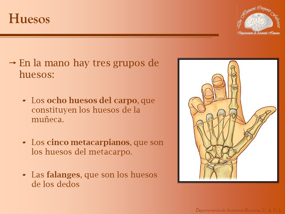 Huesos En la mano hay tres grupos de huesos: