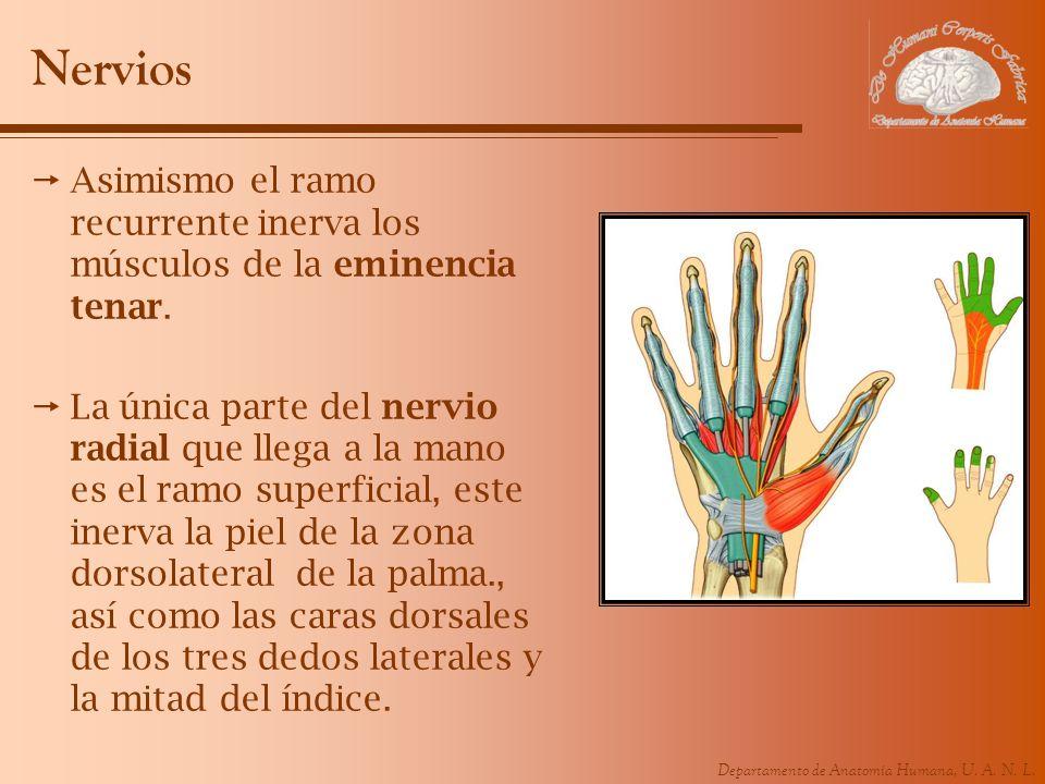 NerviosAsimismo el ramo recurrente inerva los músculos de la eminencia tenar.