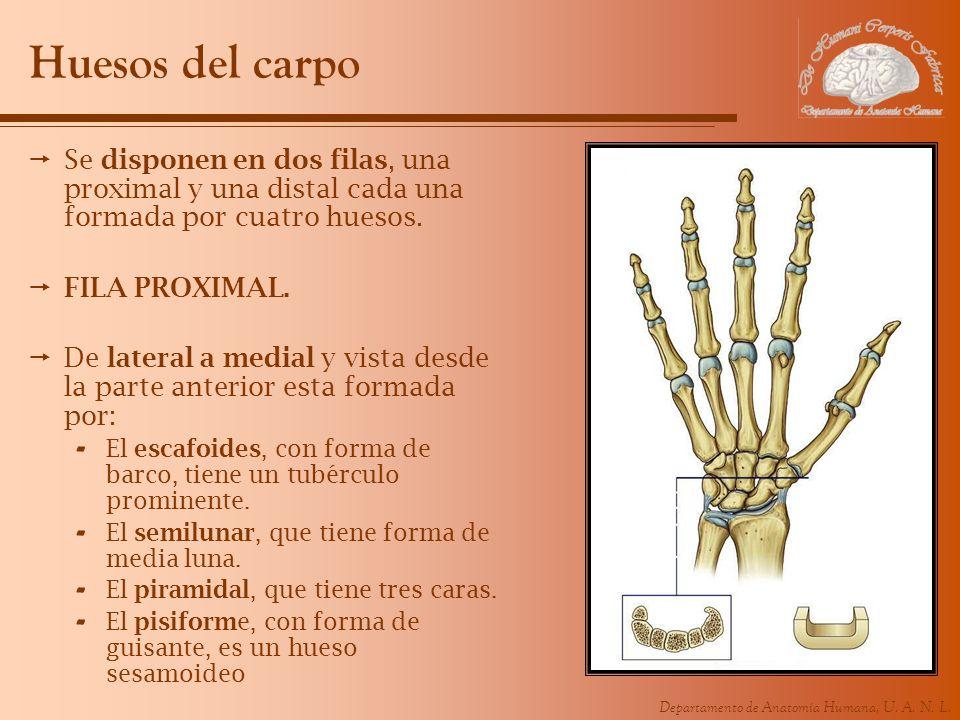 Huesos del carpo Se disponen en dos filas, una proximal y una distal cada una formada por cuatro huesos.