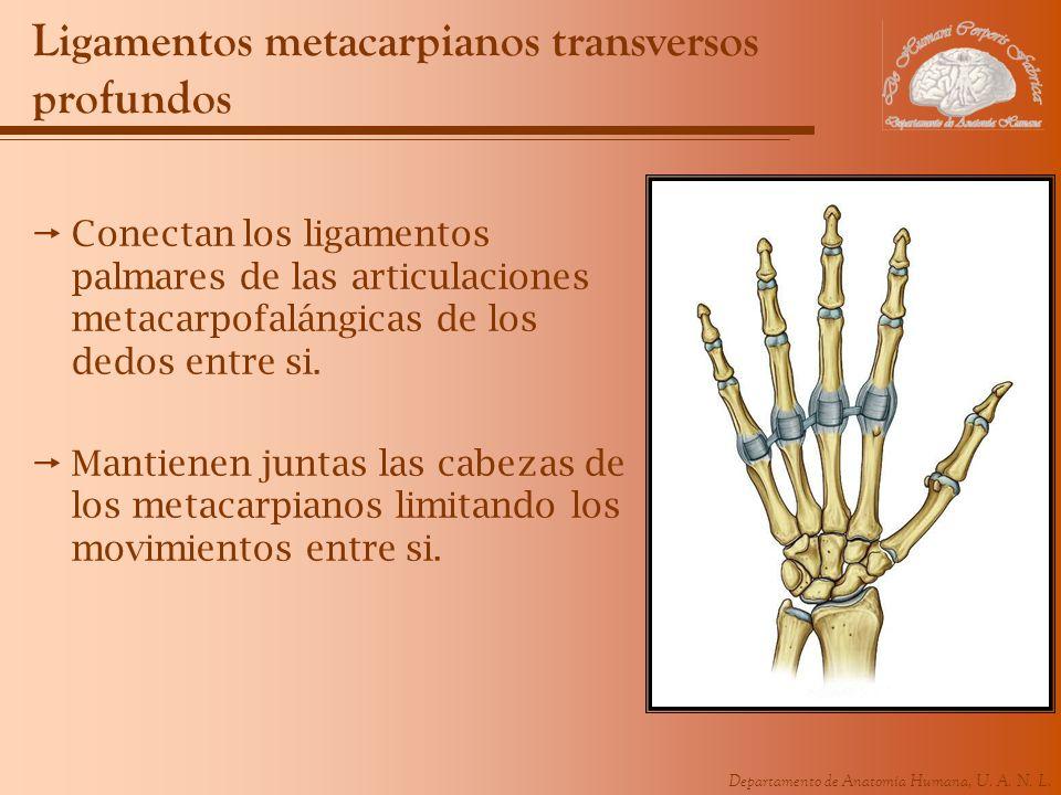 Ligamentos metacarpianos transversos profundos