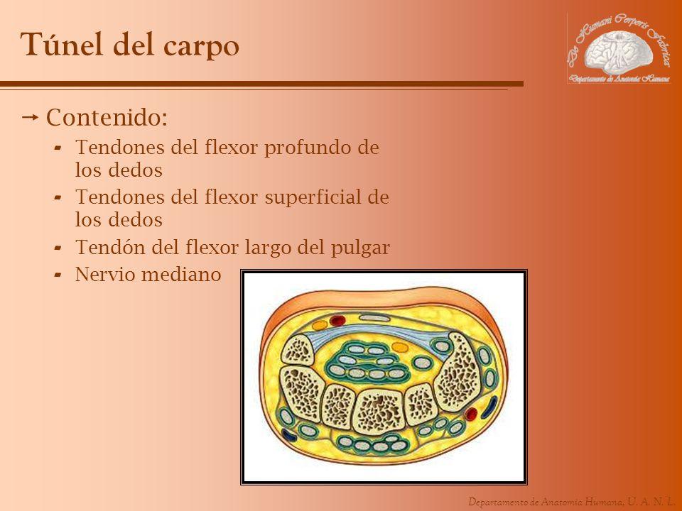 Túnel del carpo Contenido: Tendones del flexor profundo de los dedos
