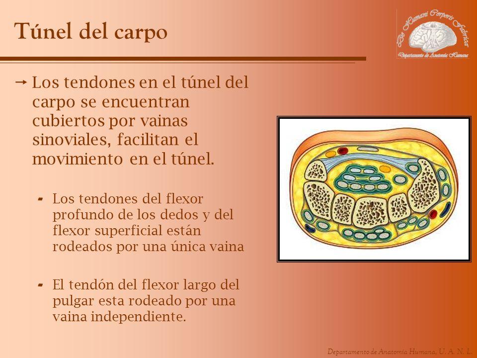 Túnel del carpo Los tendones en el túnel del carpo se encuentran cubiertos por vainas sinoviales, facilitan el movimiento en el túnel.