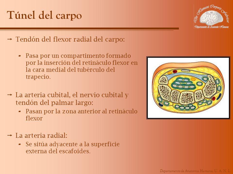 Túnel del carpo Tendón del flexor radial del carpo:
