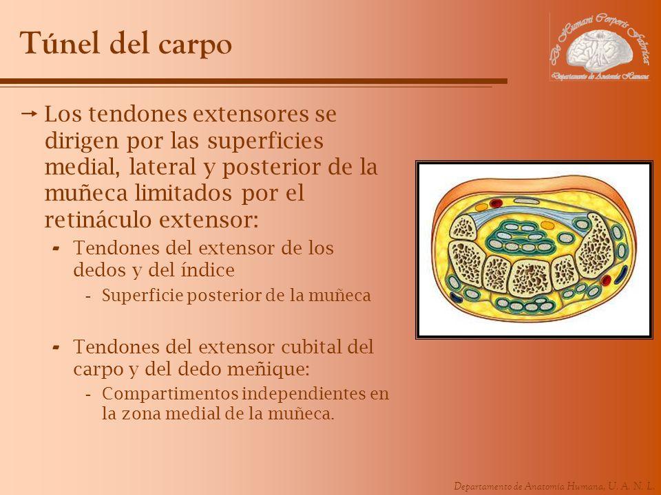 Túnel del carpo Los tendones extensores se dirigen por las superficies medial, lateral y posterior de la muñeca limitados por el retináculo extensor: