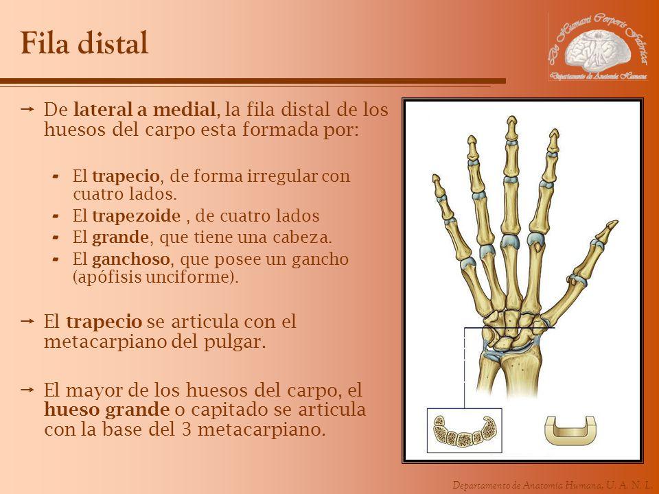 Fila distalDe lateral a medial, la fila distal de los huesos del carpo esta formada por: El trapecio, de forma irregular con cuatro lados.