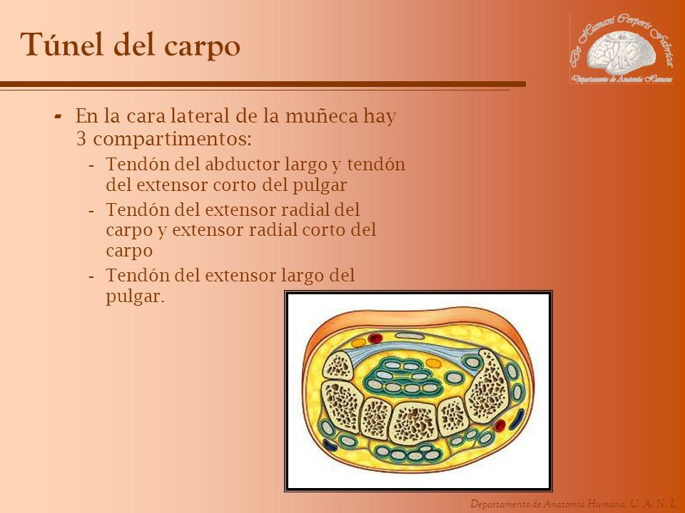 Túnel del carpo En la cara lateral de la muñeca hay 3 compartimentos: