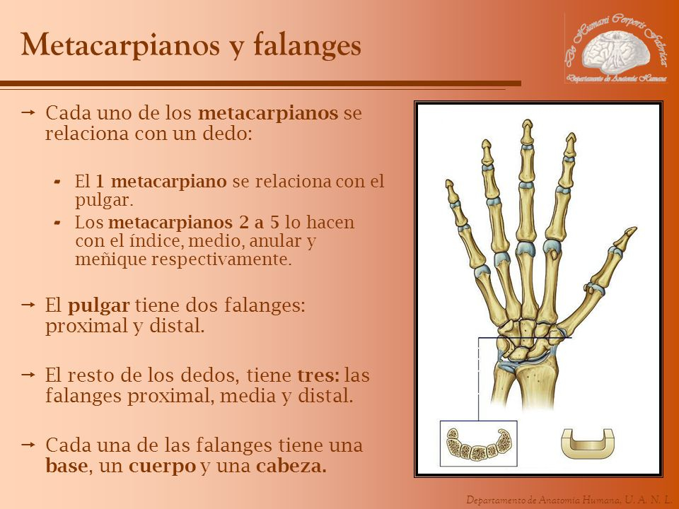 Metacarpianos y falanges