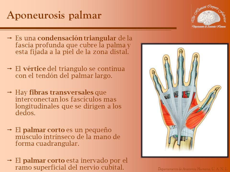 Aponeurosis palmarEs una condensación triangular de la fascia profunda que cubre la palma y esta fijada a la piel de la zona distal.