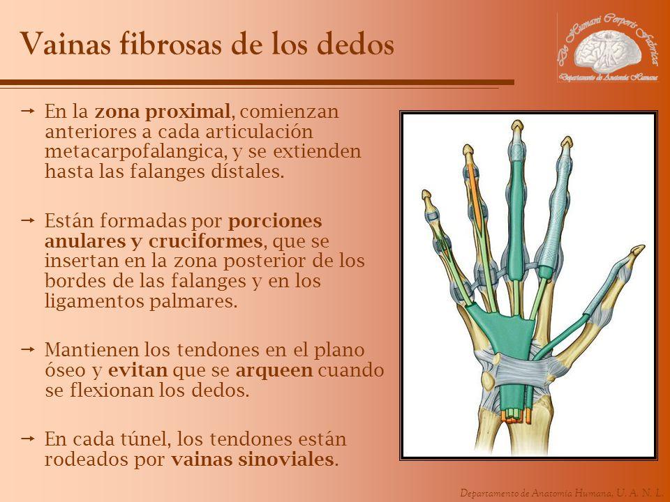 Vainas fibrosas de los dedos