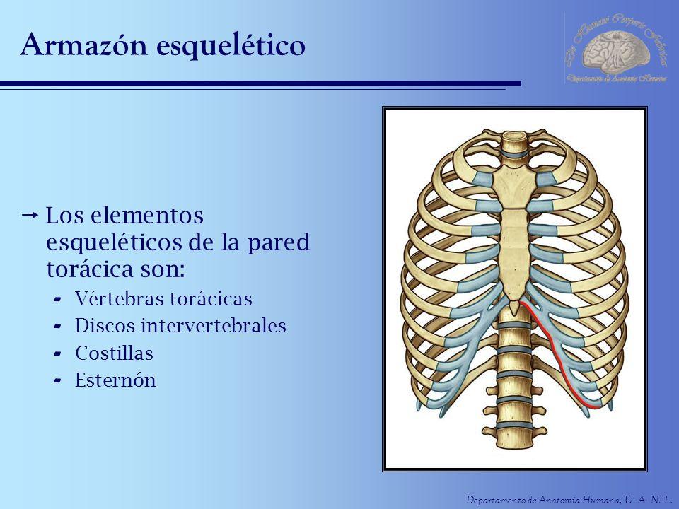 Armazón esquelético Los elementos esqueléticos de la pared torácica son: Vértebras torácicas. Discos intervertebrales.
