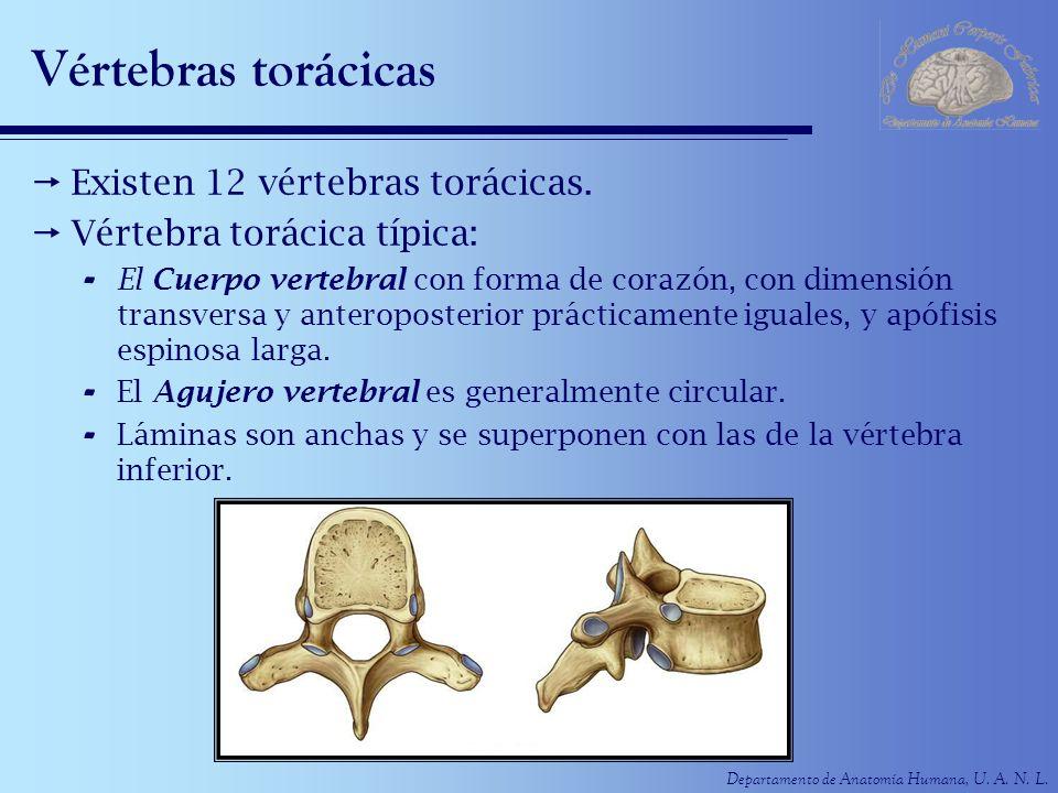 Vértebras torácicas Existen 12 vértebras torácicas.