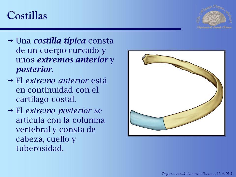 Costillas Una costilla típica consta de un cuerpo curvado y unos extremos anterior y posterior.
